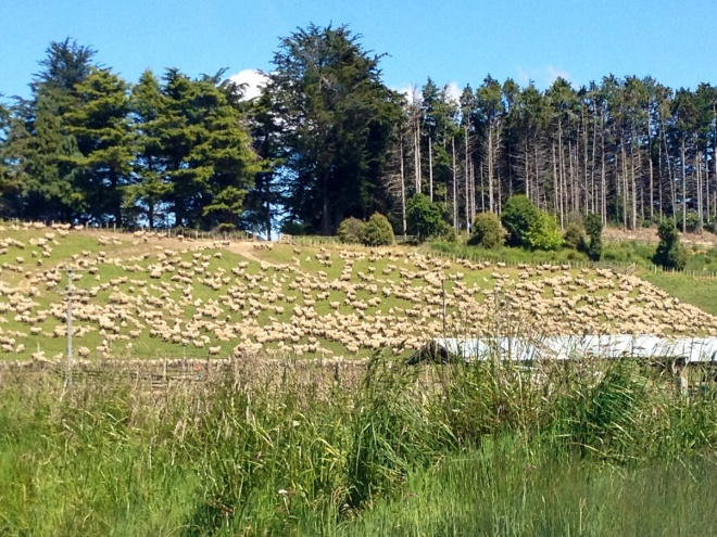 Yes, those are all sheep. We stopped to listen to them...which was entertaining, but loud!