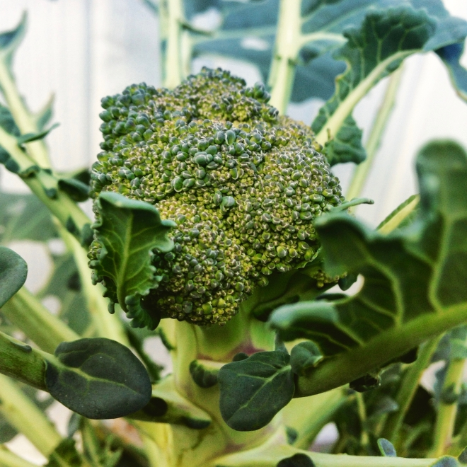 broccoli - 4
